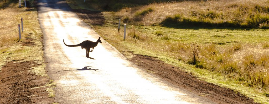 kangaroo Australia.